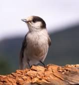 Grey Jay Whiskey Jack Bird Watching Animal Wildlife — Stock Photo
