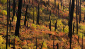 New Growth Begins After Forest Fire Burnt Bark Charred Trees — Stock Photo