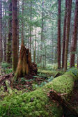 Rainforest Fallen Logs Rotted Stump Moss Covered Tree Trunk — Stock Photo