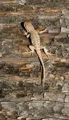 Wild Animal Sagebrush Lizard Forest Reptile Sceloporus Graciosus — Stock Photo