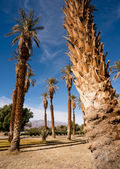 An Oasis of Tropical Trees Furnace Creek Death Valley — Stock Photo