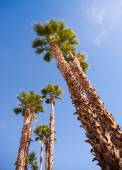 Palm Trees Towering into the Blue Sky Palm Springs — Stock Photo