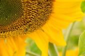 Honey Bee Pollinating Farm Sunflower Plant — Stock Photo