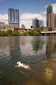 American Bulldog Swims in Colorado River Downtown Austin Texas — Stock Photo