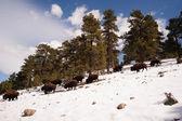 North American Bison Buffalo Roam Hillside Fresh Snow Blue Sky — Stockfoto