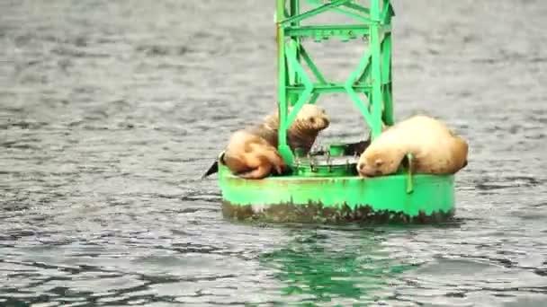 Vida silvestre leones sueño mar boya Reserrection bahía salvaje mar — Vídeo de stock