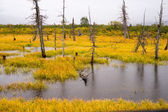 Dead Trees Standing Watery Wet Marsh Wetland Turnagain Arm Alask — Stock Photo