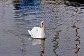 Bílá labuť na vodě — Stock fotografie