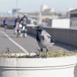 Crow on the street planters — Stock Photo #59278623
