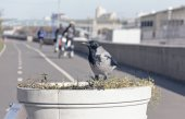 Crow on the street planters — Foto Stock
