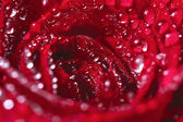 Blooming red rose with water drops — Stockfoto