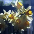 Spring daffodils in the sunlight — Stock Photo #61692593