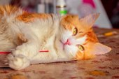 Red cat with relaxed lying on table — Stock Photo