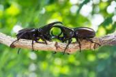 Stag beetle on tree — Stock Photo