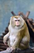 Pig tailed macaque — Stock Photo
