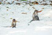 Crab-eating macaque — Foto de Stock