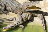 Crocodile farm in Phuket, Thailand. Dangerous alligator in wildlife — Stock Photo