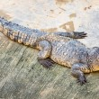 Crocodile farm — Stock Photo #62668603
