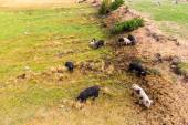 Wild pigs graze eating grass — Stock Photo