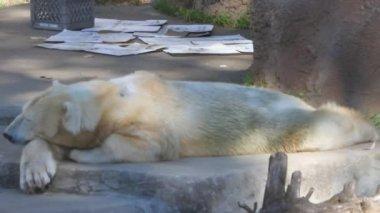 Polar bear sitting on a rock — Stock Video