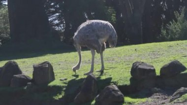 Ostrich walking in a park — Stock Video