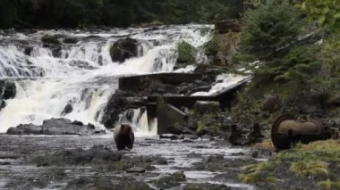 Bears in alaska — Stock Video