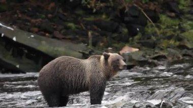 在阿拉斯加的熊 — 图库视频影像