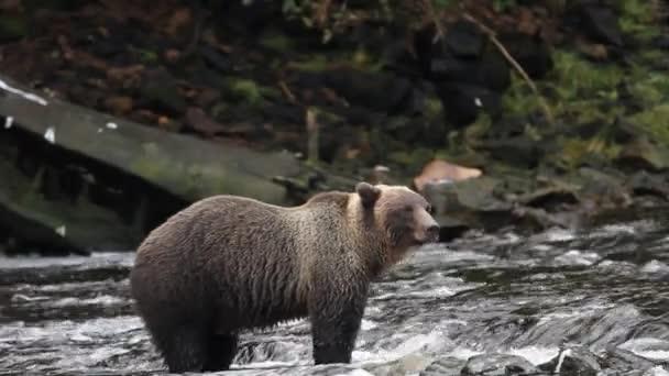 Osos en Alaska — Vídeo de stock