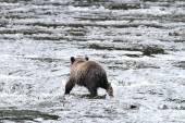 Bears in Alaska — Stock Photo