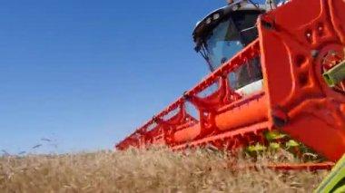 Harvesting grain with harvester — Stock Video