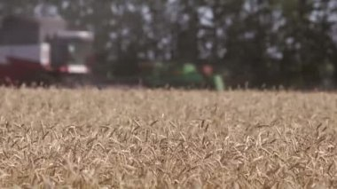 Combine harvesters harvesting wheat — Stock Video