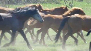 Vahşi atlar bir hareket yavaş dörtnala — Stok video