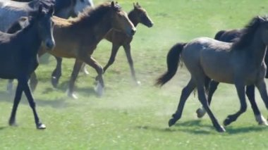 Wild horses galloping a motion Slow — Stock Video