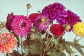 Beautiful dahlia background — Stock Photo