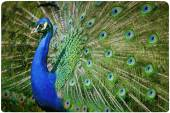 Colorful peacock background — Stock Photo