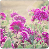 Dahlia Flower Background on old, yellowed Paper — Stock Photo