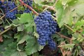 Vine and ripe grapes — Stock Photo