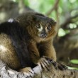 A beautiful red ruffed lemur (Varecia rubra) — Stock Photo #55139973