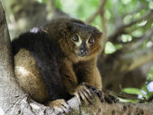 A beautiful red ruffed lemur (Varecia rubra) — Stock Photo