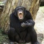 Chimpanzee teeth bared — Stock Photo #55140309