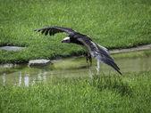Eagle in flight — Stock Photo