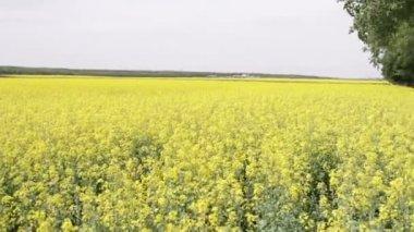 Field of oilseed rape — Stock Video