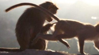 Monkey on   rock — Video Stock