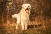Young golden retriever dog — Stock Photo