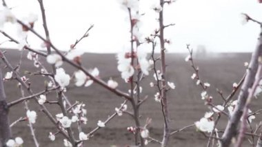Cherry blossom and plowing tractor — Stock Video