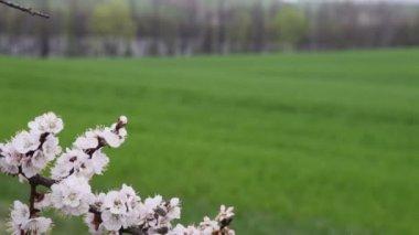 Cherry tree on field — Wideo stockowe