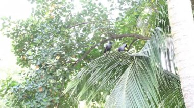 Two crows sit on coconut palm — Stock Video