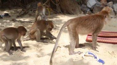Monkey find food among other monkeys — Stock Video