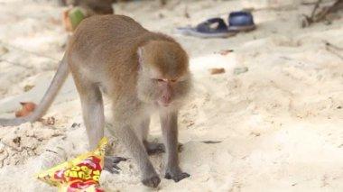 Monkey find food on sandy beach — Stock Video