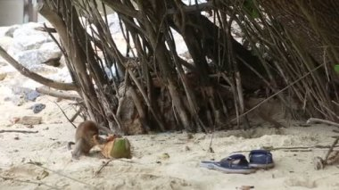 Monkey find food on sandy beach — Stock Video